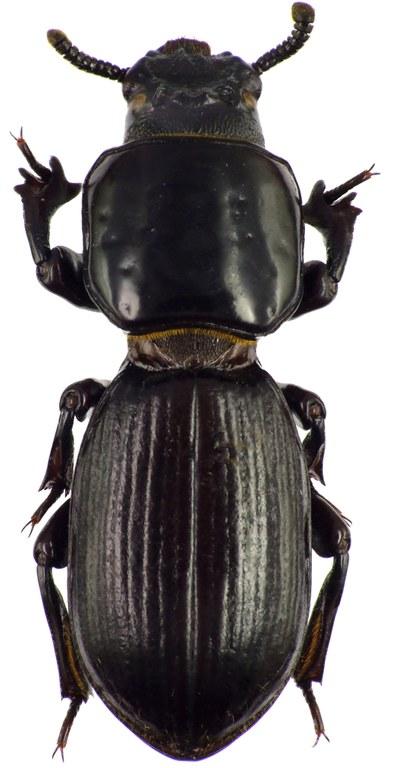 Passalocharis leleupi 71447cz57.jpg