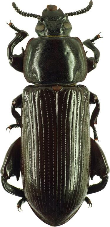 Pheugonius borneensis 23874cz78.jpg