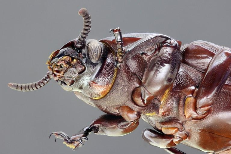 Pheugonius borneensis 65121zs52.jpg