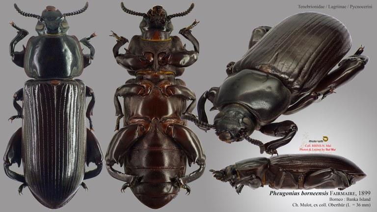 Pheugonius borneensis.jpg