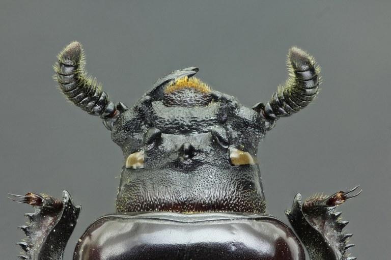Prioproctus centralis 37821zs52.jpg