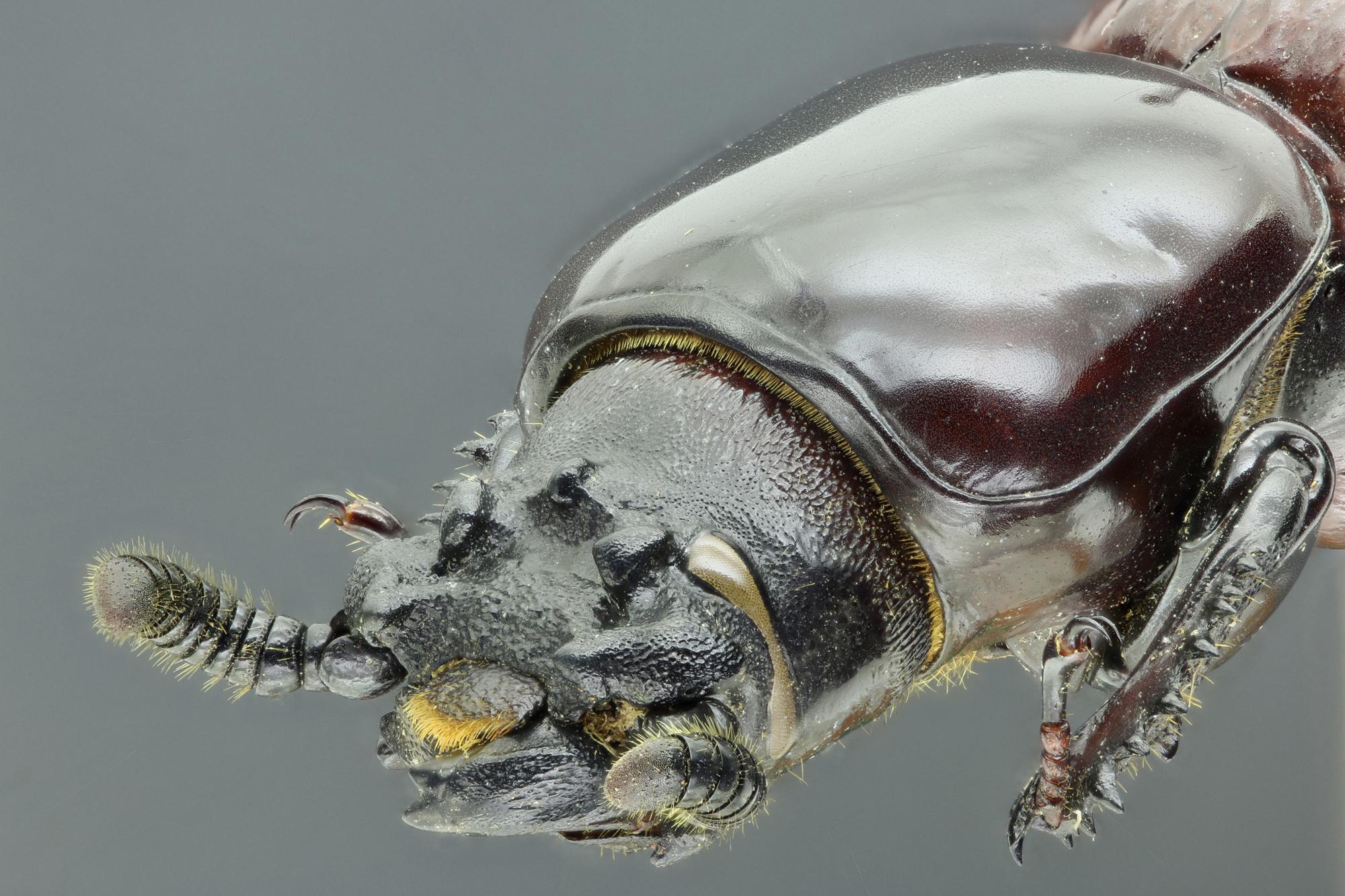 Prioproctus centralis 37854zs09.jpg