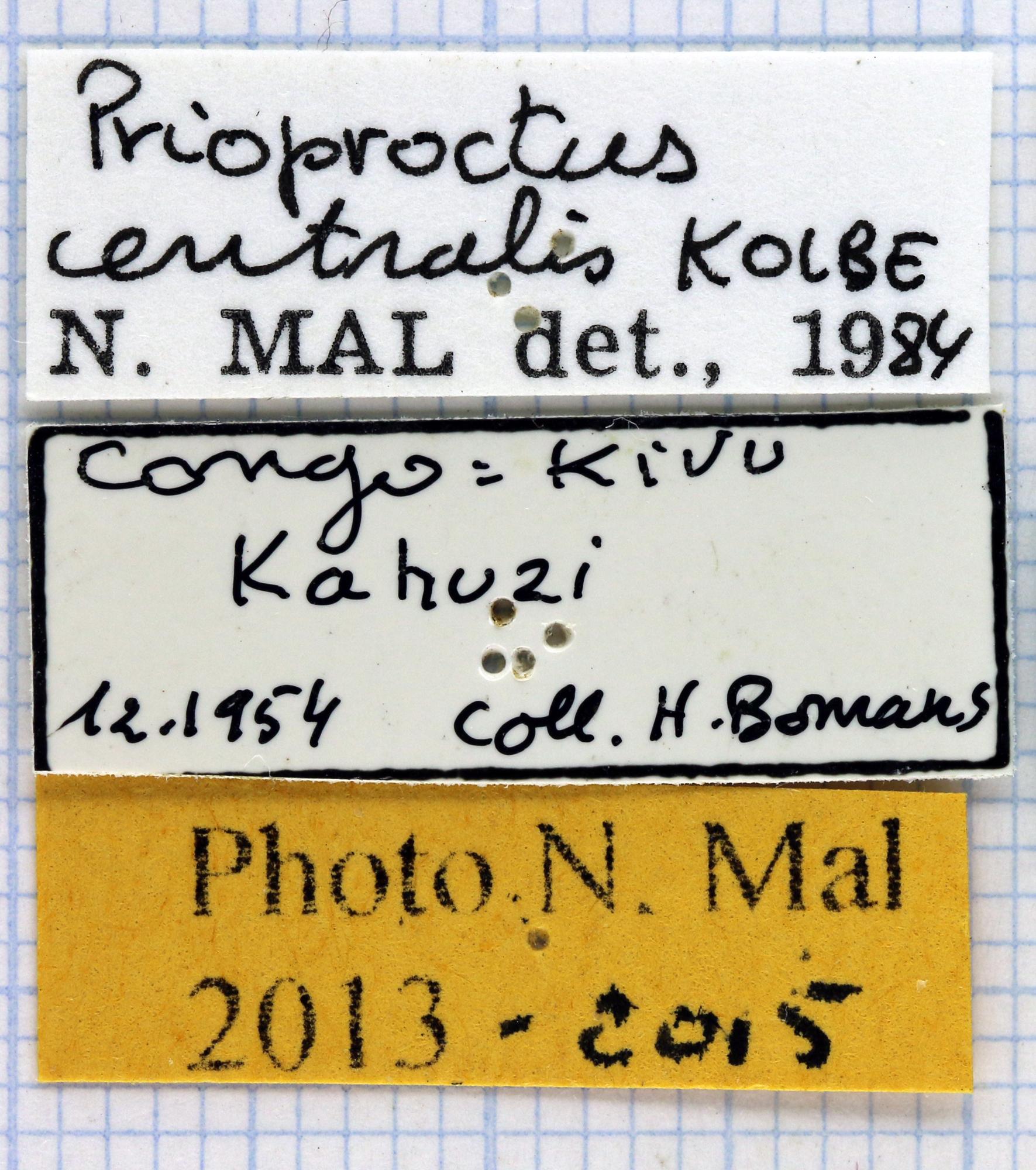 Prioproctus centralis 37999.jpg