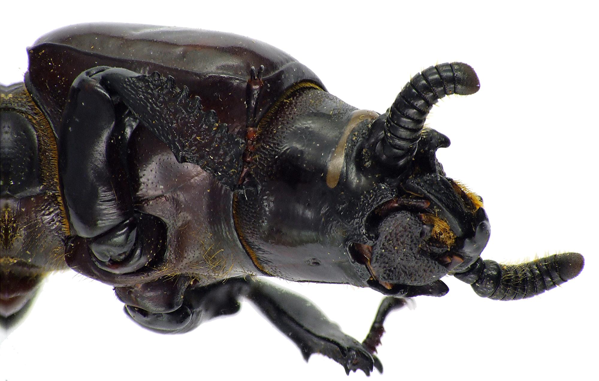Prioproctus centralis 71973cz86.jpg