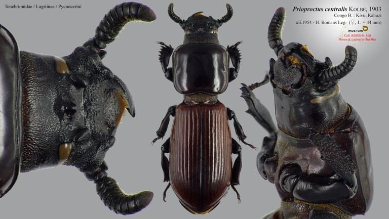 Prioproctus centralis.jpg