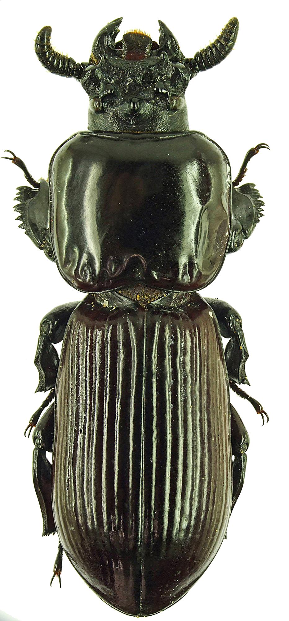 Prioproctus oertzeni 23791cz93.jpg