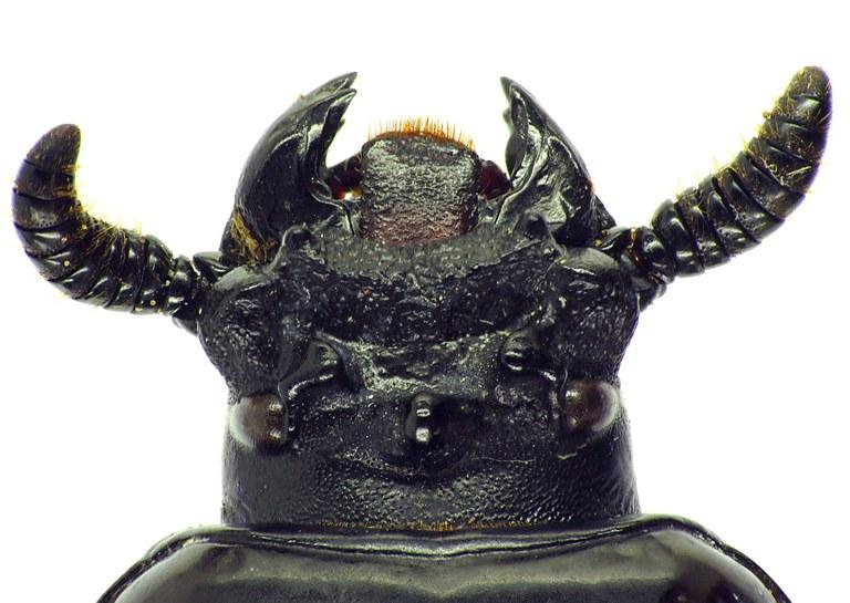 Prioproctus oertzeni 23794cz99.jpg