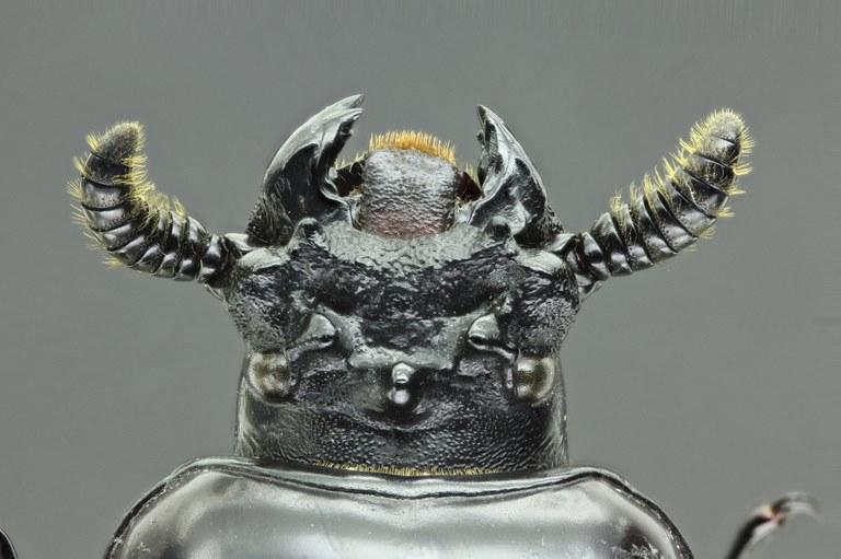Prioproctus oertzeni 37967zs98.jpg