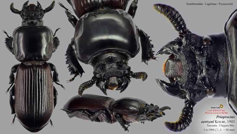 Prioproctus oertzeni.jpg