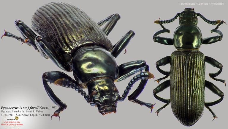 Pycnocerus (Pycnocerus) fageli.jpg