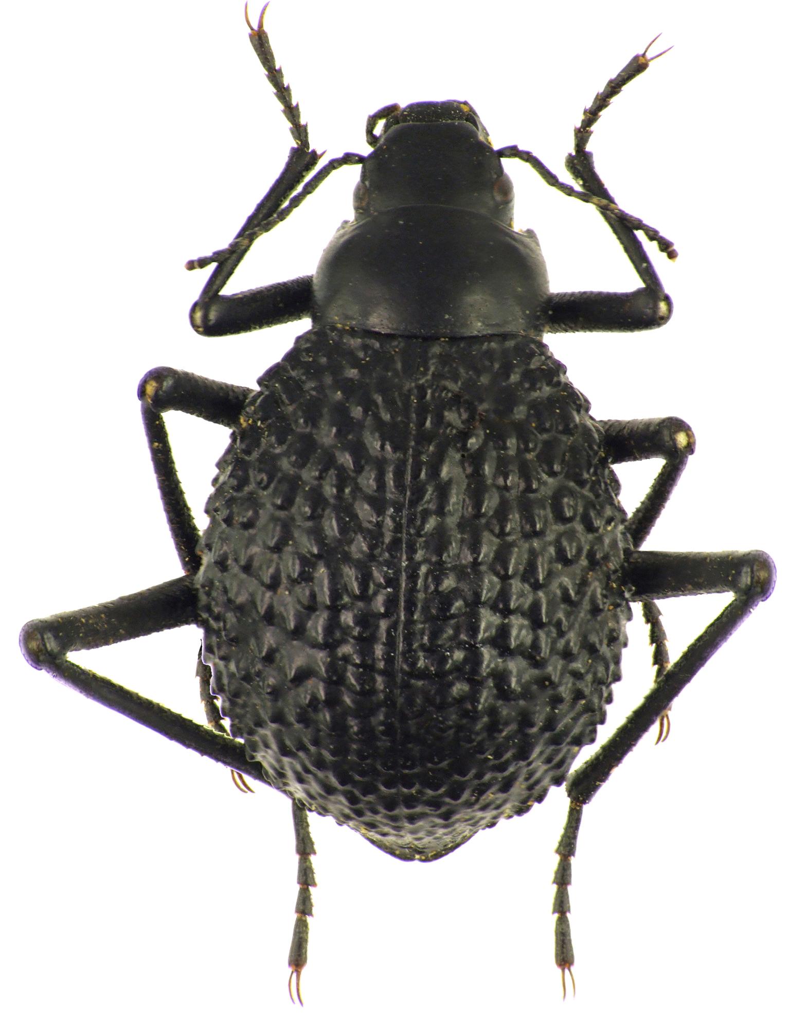 Adesmia biskreensis asperrima 83479cz88.jpg