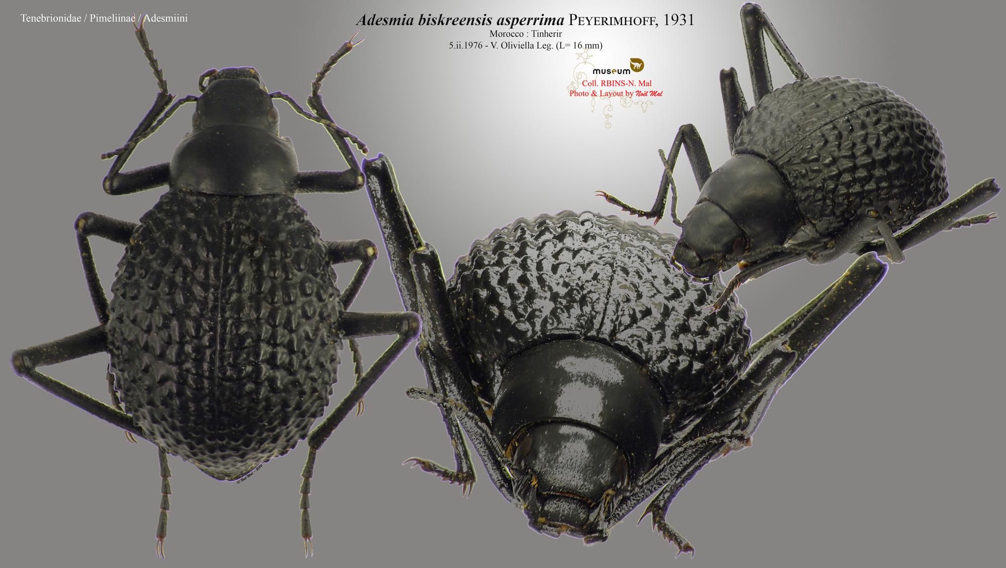 Adesmia biskreensis asperrima.jpg