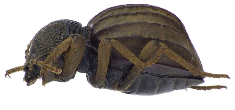 Amiantus browni NM64906cz12.jpg