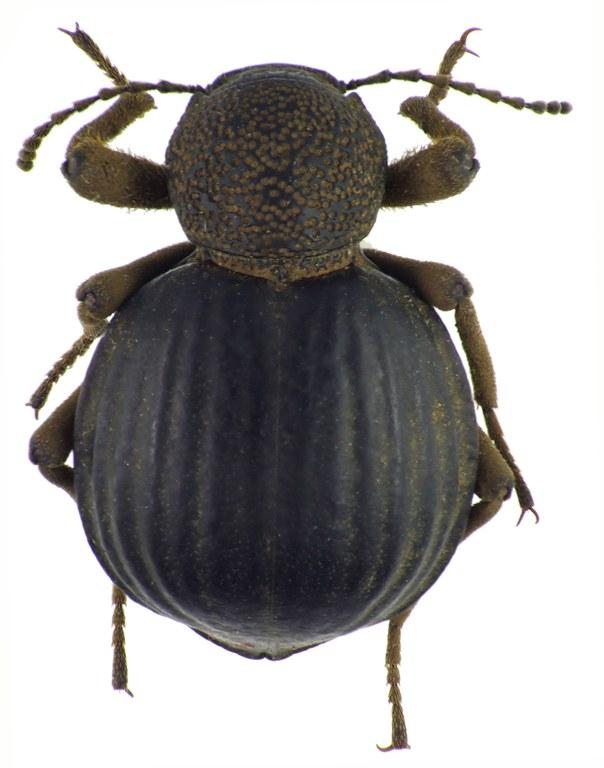 Amiantus costipennis NM64880cz88.jpg