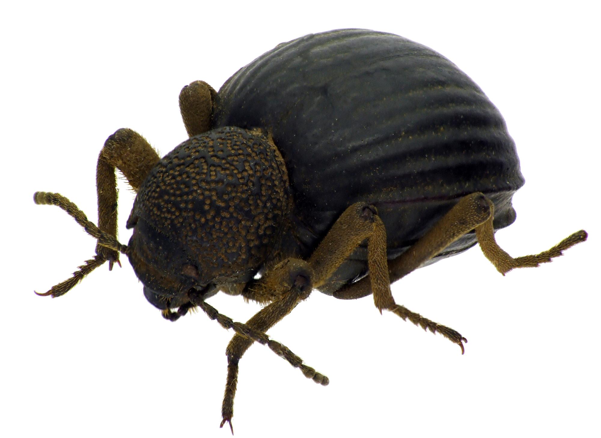 Amiantus costipennis NM64889cz98.jpg