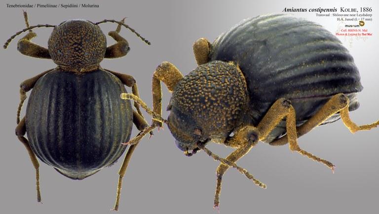 Amiantus costipennis.jpg