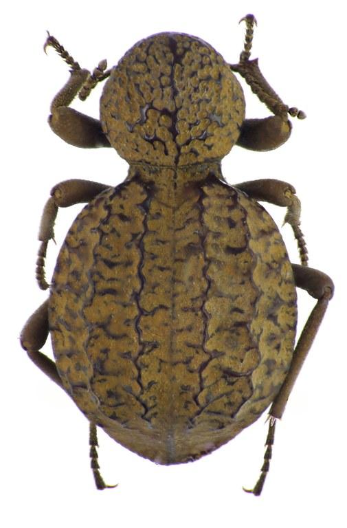 Amiantus gibbosus NM64865cz71.jpg