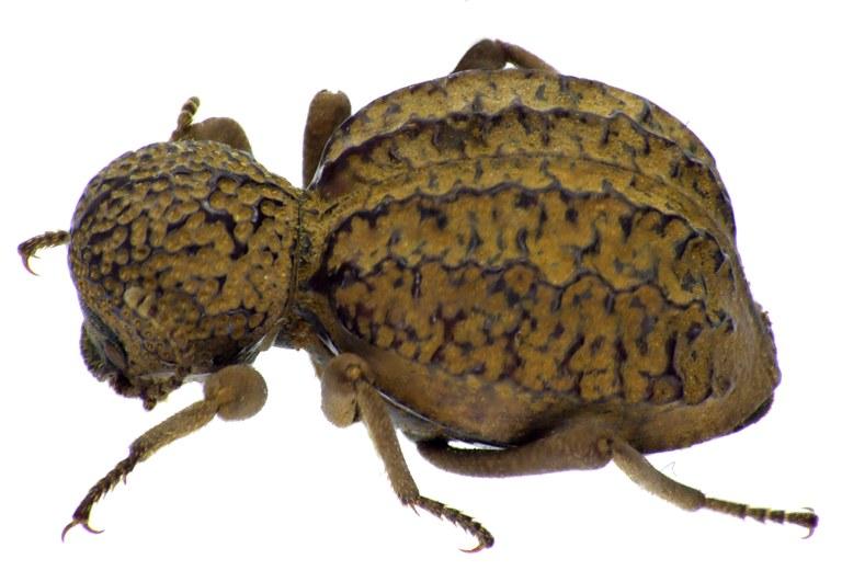Amiantus gibbosus NM64872cz79.jpg
