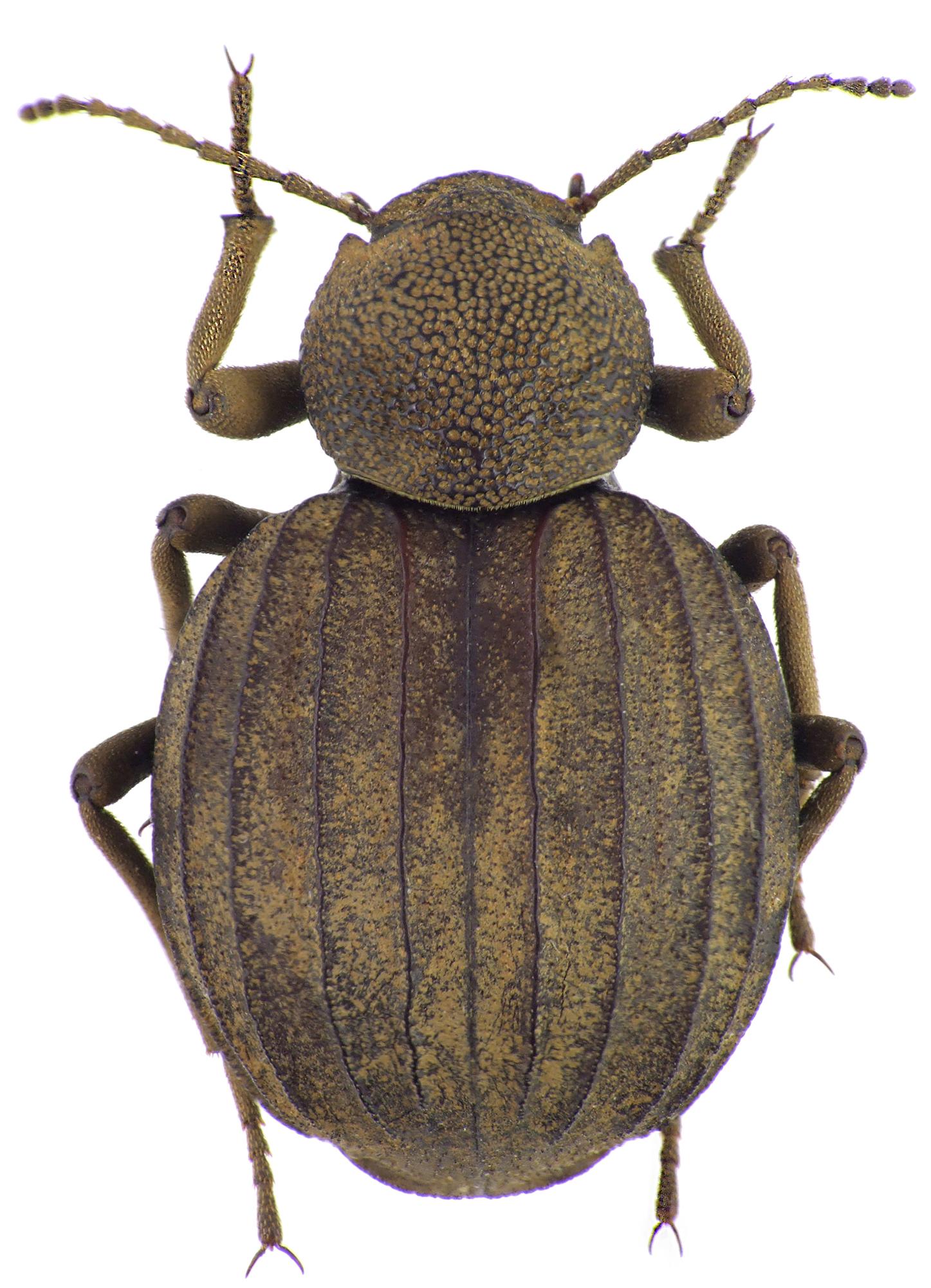 Amiantus globulipennis NM64776cz84.jpg