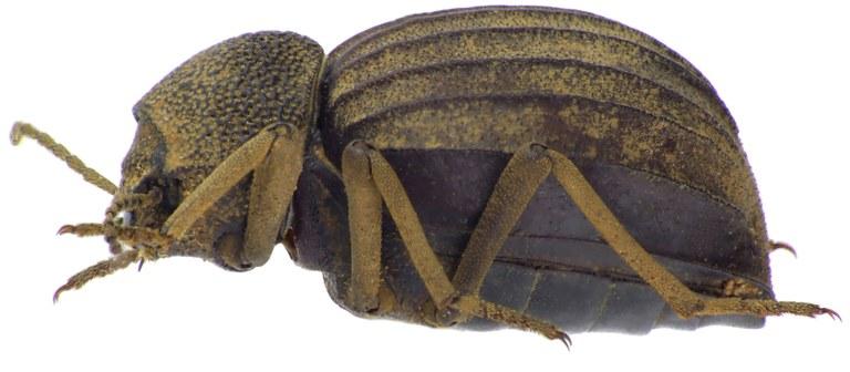 Amiantus globulipennis NM64796cz05.jpg
