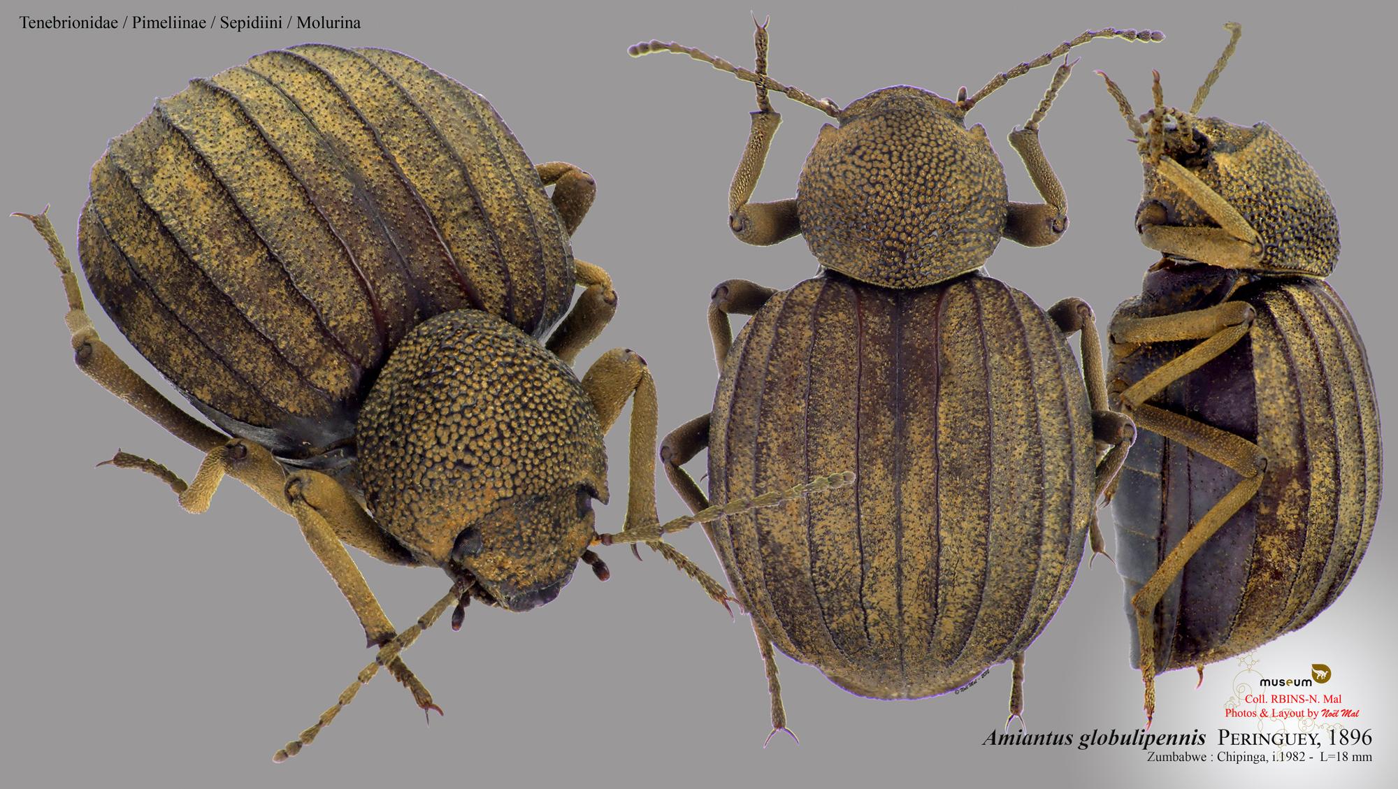 Amiantus globulipennis.jpg