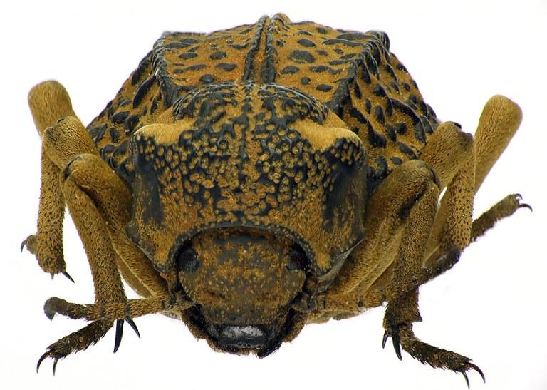 Brachyphrynus petrosus petrosus 71158cz74.jpg