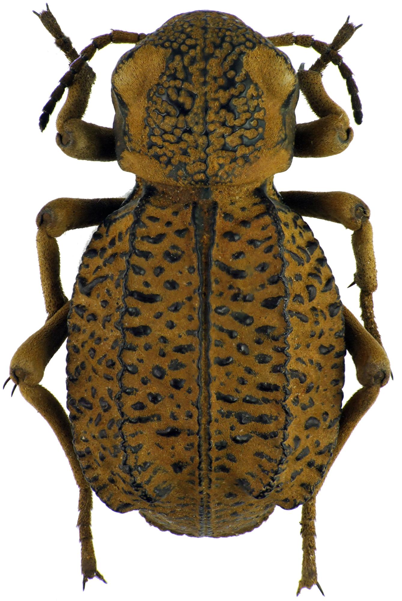 Brachyphrynus petrosus petrosus 71175cz84.jpg