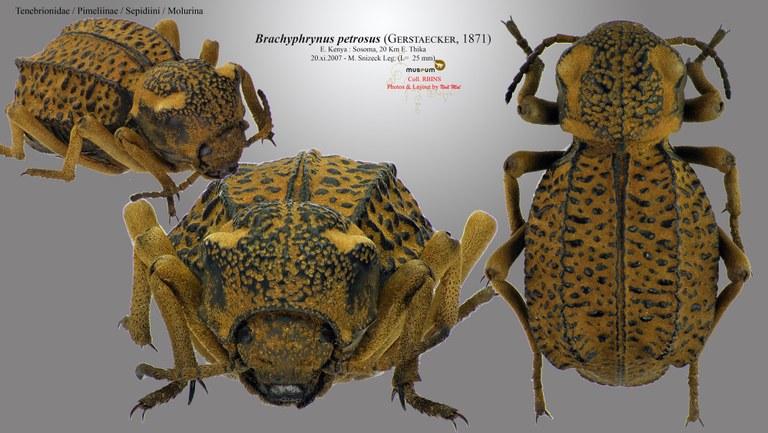 Brachyphrynus petrosus petrosus.jpg