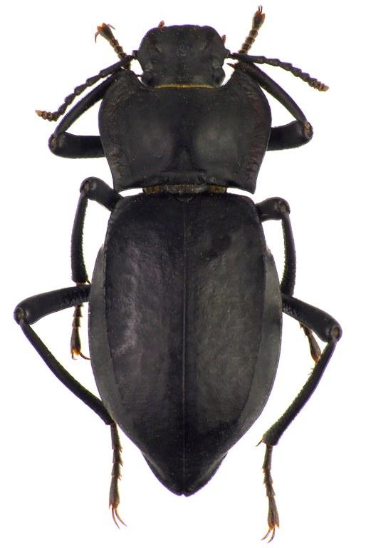 Cyphogenia (Cyphogenia) chinensis 83808cz15.jpg