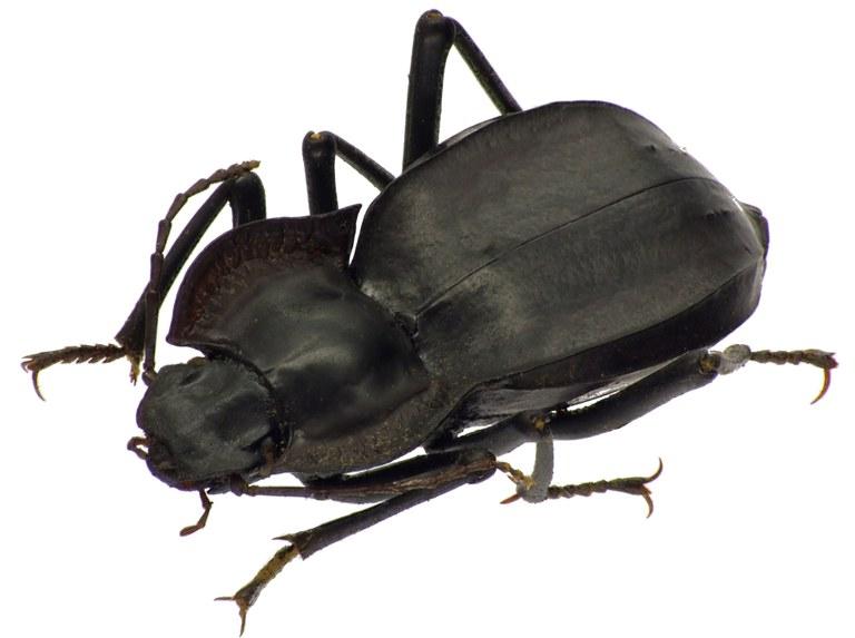 Cyphogenia (Leiochroma) limbata 83872cz87.jpg