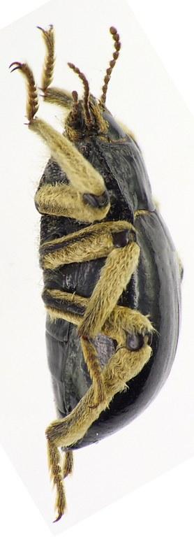 Psectrascelis pilipes peninsularis 76381cz93.jpg