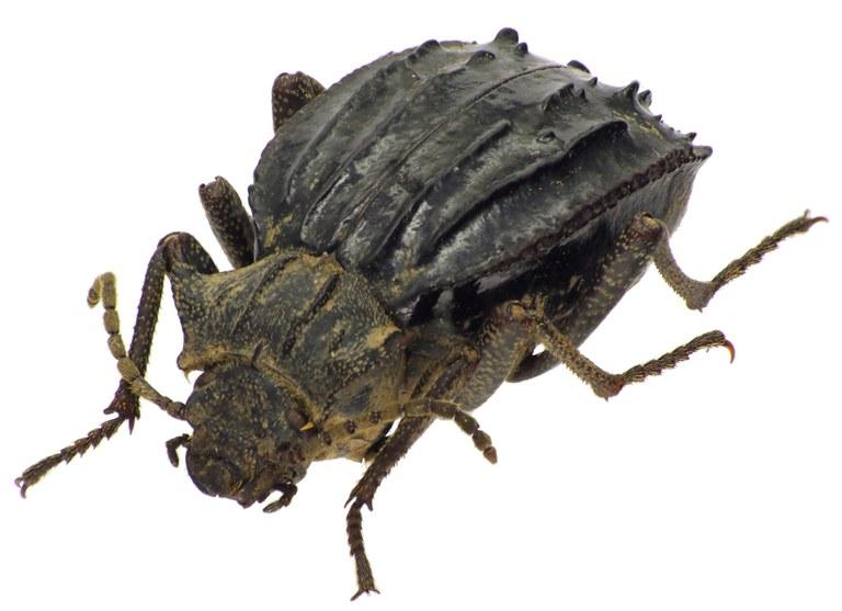 Entomoderes pustulosus 76800cz17.jpg