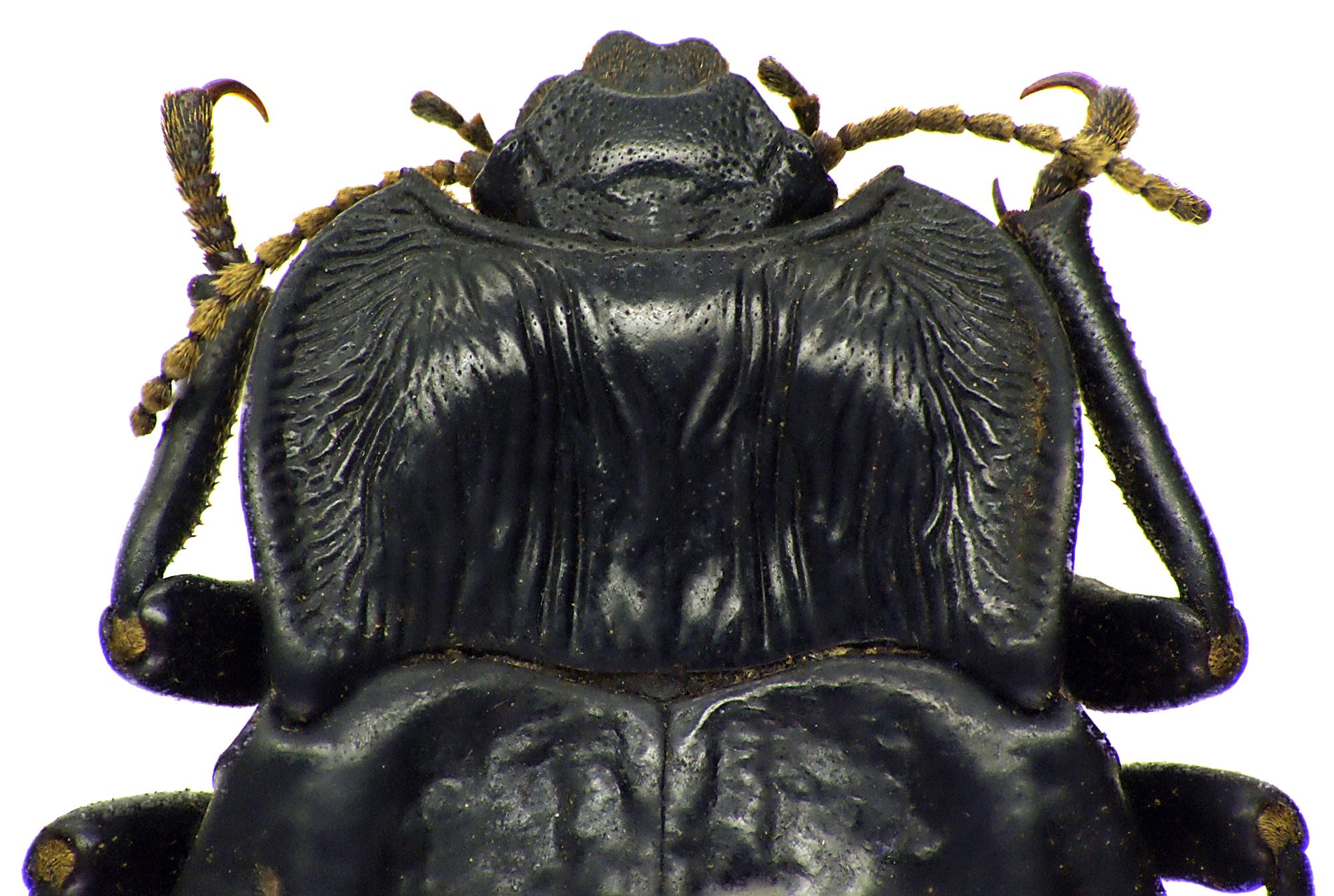 Epipedonota biramosa 76669cz76.jpg