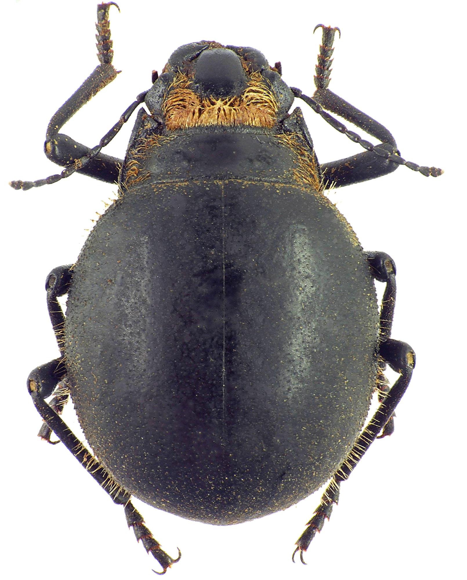Epiphysa flavicollis 23938cz46.jpg