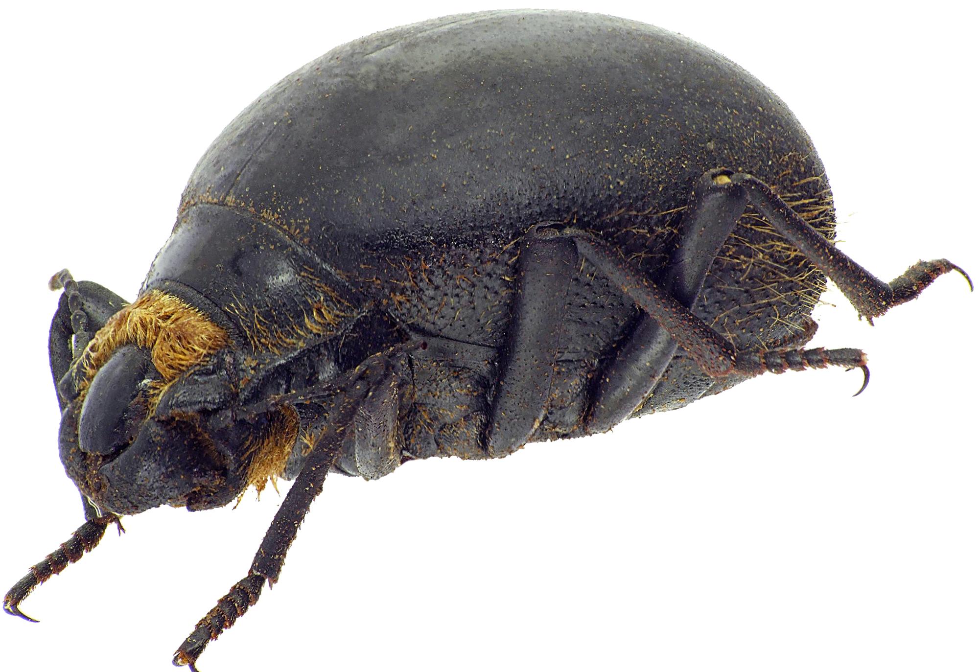 Epiphysa flavicollis 23947cz54.jpg
