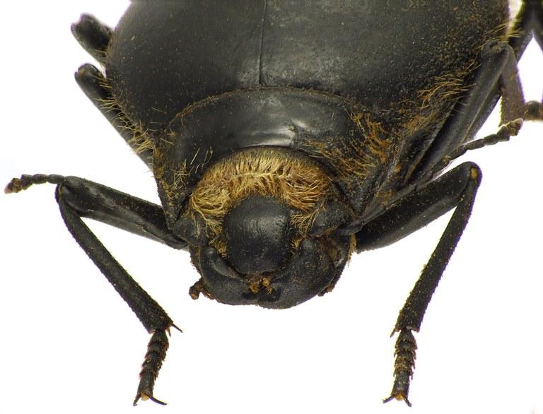 Epiphysa flavicollis 83438cz46.jpg