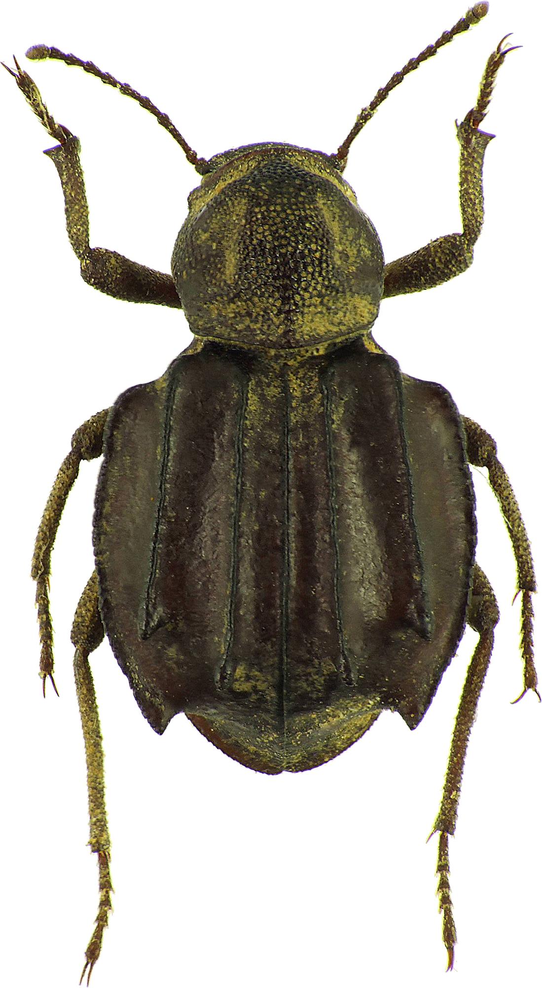 Euphrynus sexdentatus 24649cz55.jpg