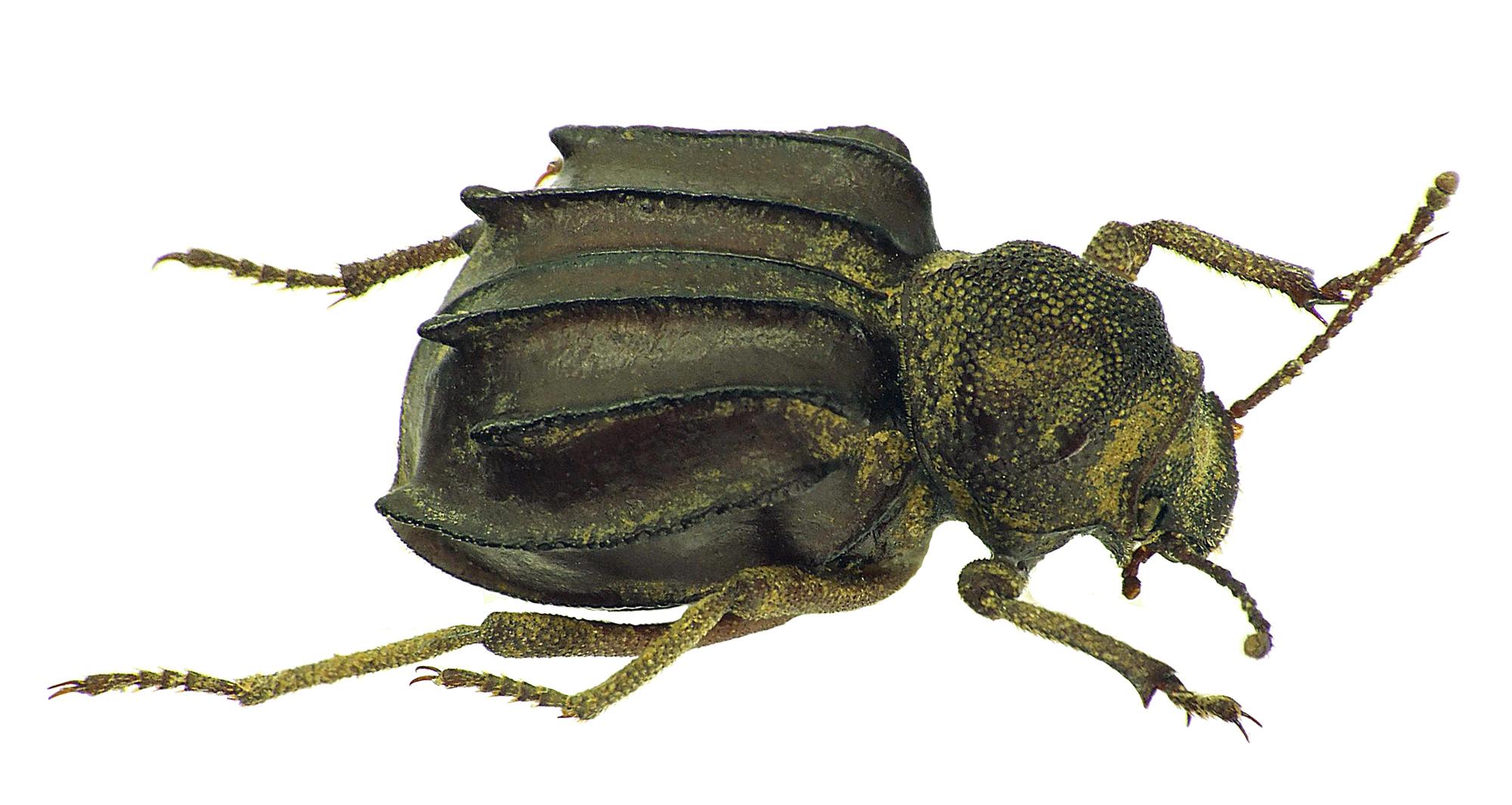 Euphrynus sexdentatus 24656cz63.jpg