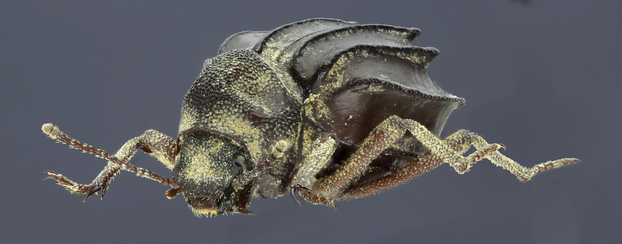 Euphrynus sexdentatus 35978zs16.jpg