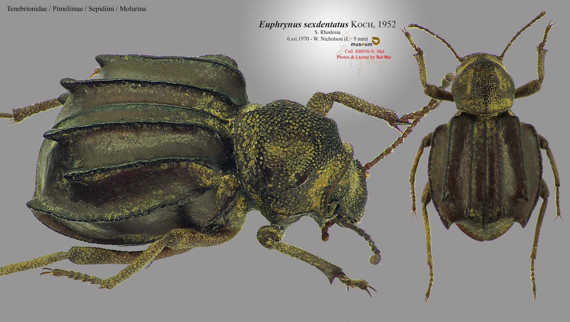 Euphrynus sexdentatus.jpg