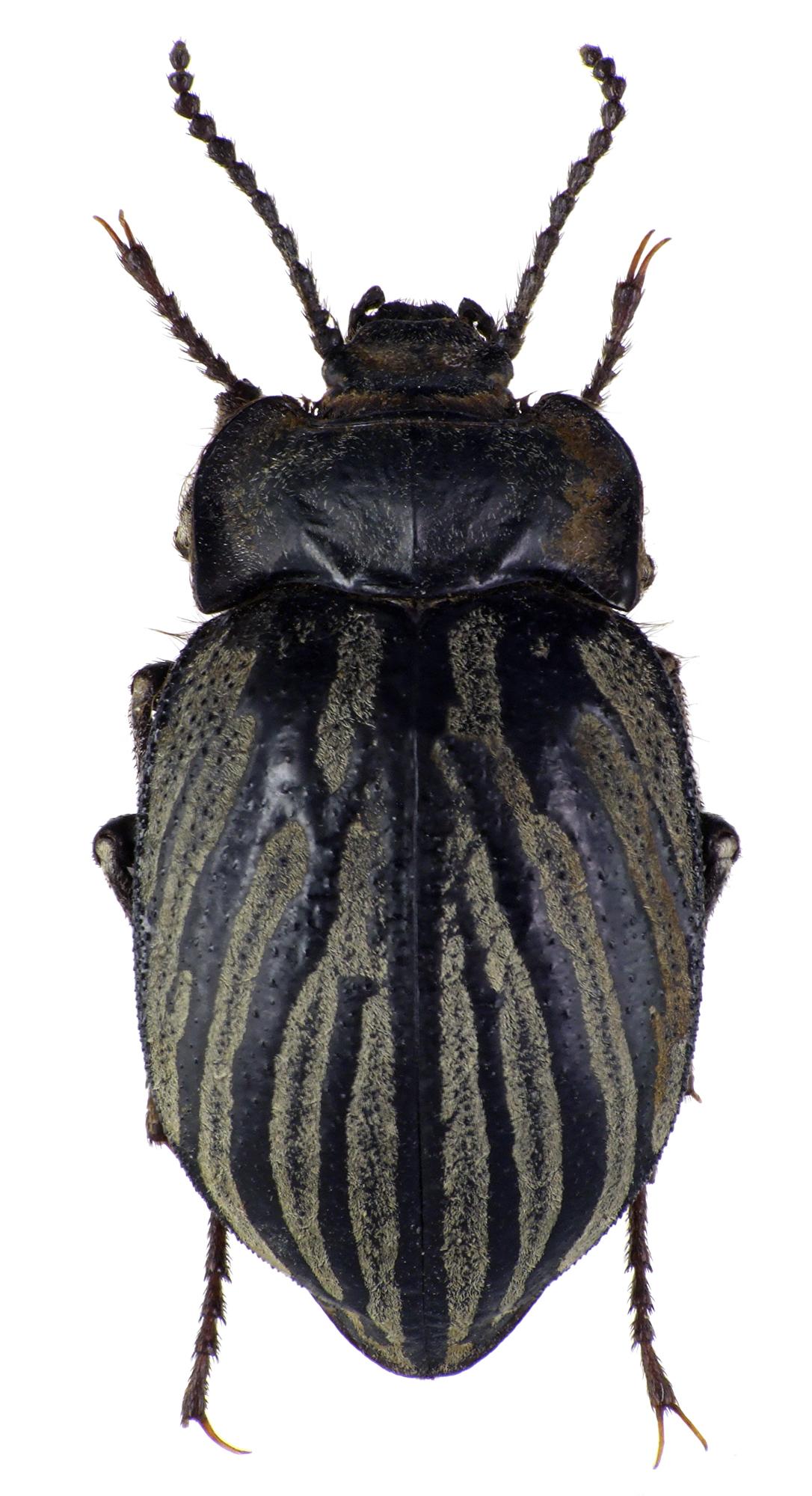 Gyriosomus elongatus 75416cz26.jpg