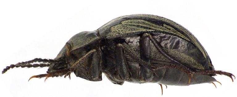 Gyriosomus elongatus 75460cz70.jpg