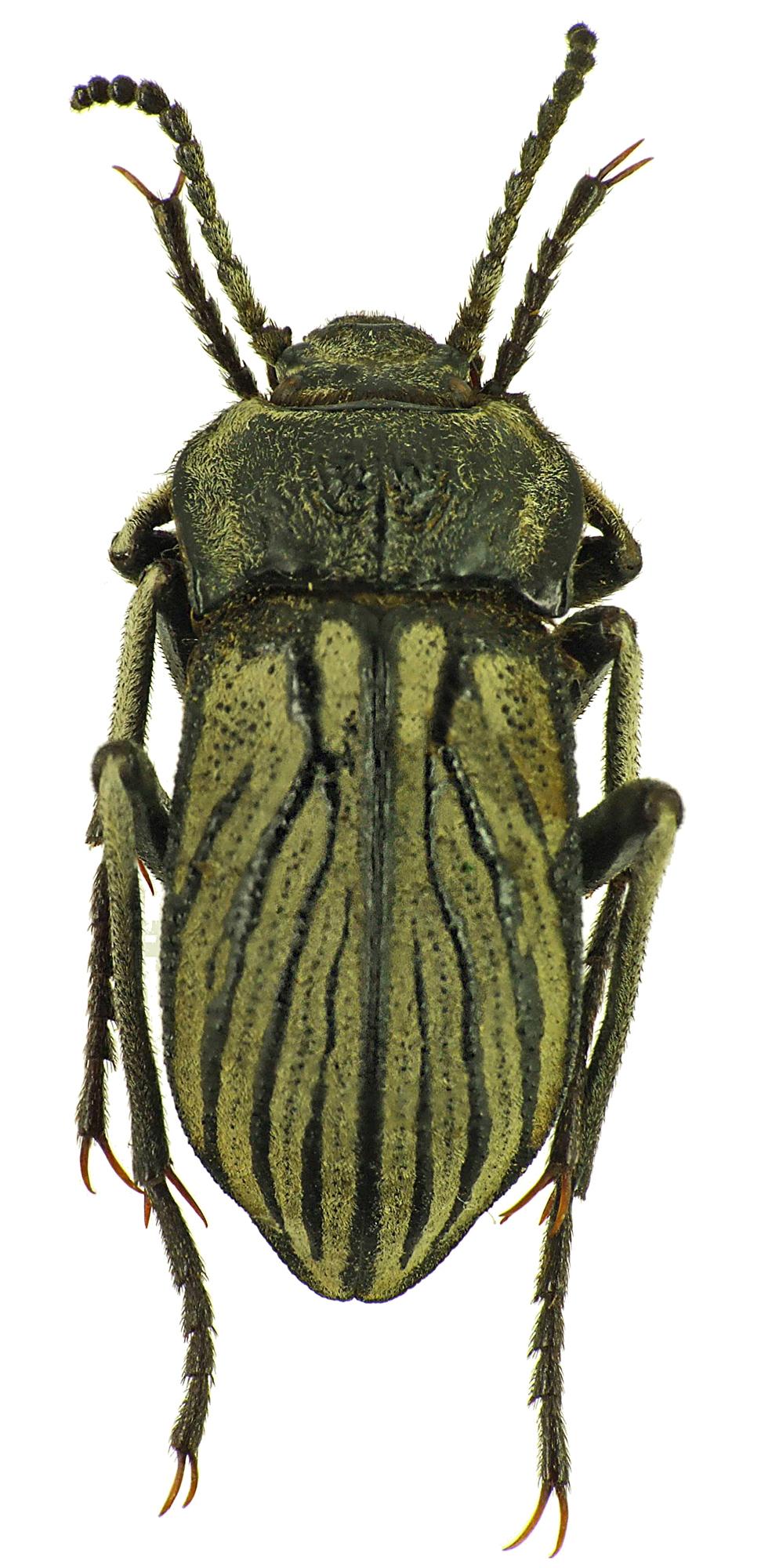 Gyriosomus elongatus 25235cz40.jpg