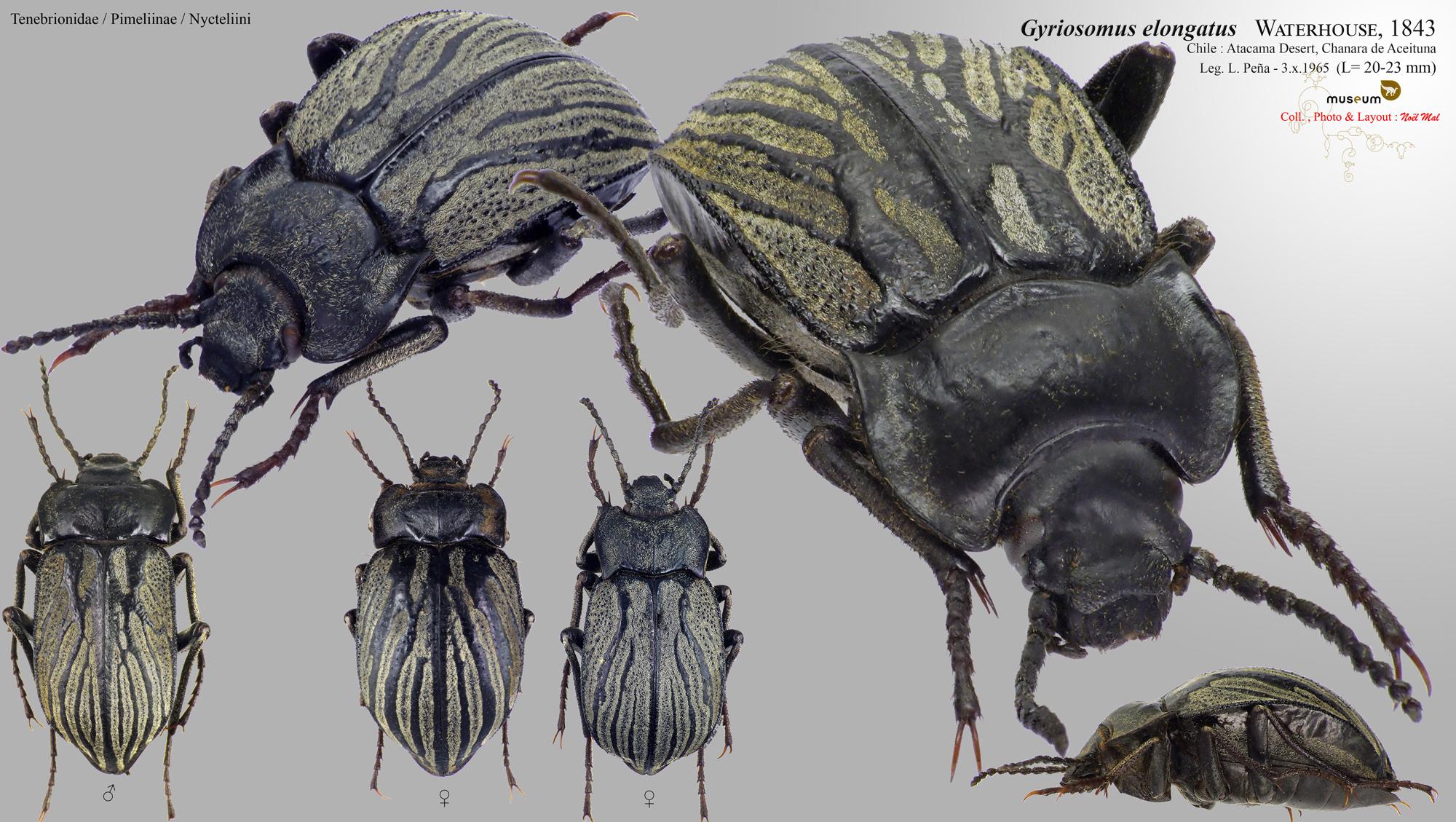 Gyriosomus elongatus.jpg