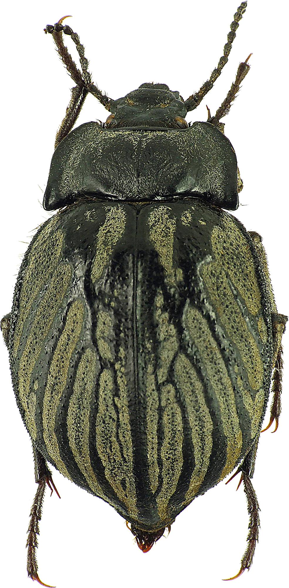 Gyriosomus elongatus 25228cz34.jpg