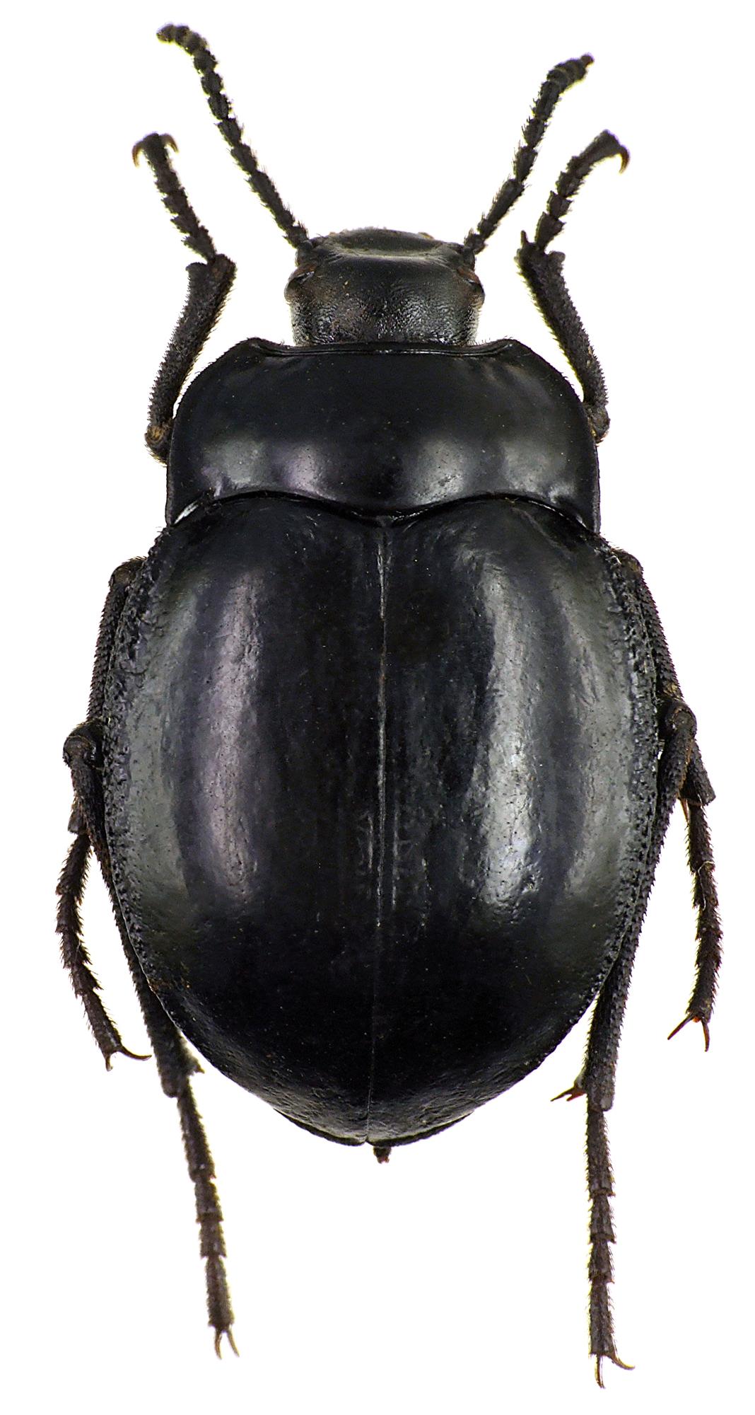 Gyriosomus foveolatus 75520cz28.jpg