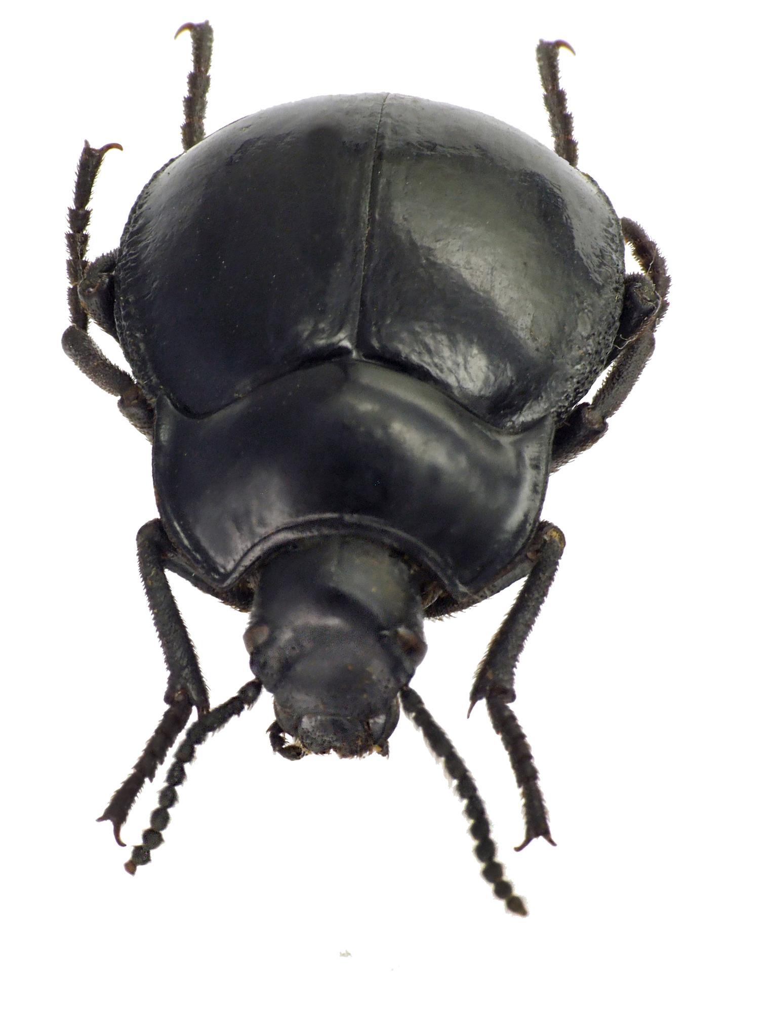 Gyriosomus foveolatus 75538cz46.jpg