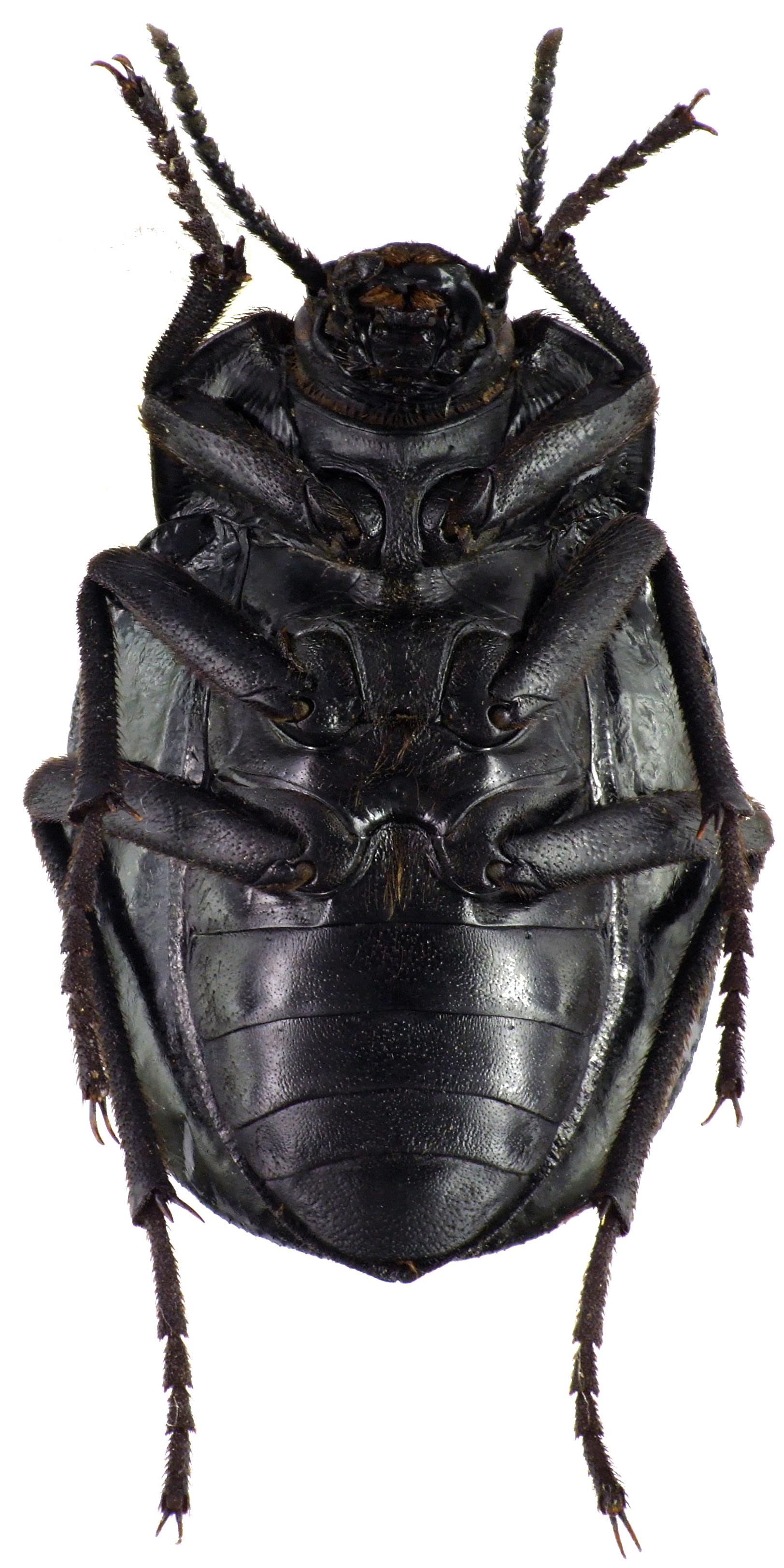Gyriosomus hopei 75967cz73.jpg