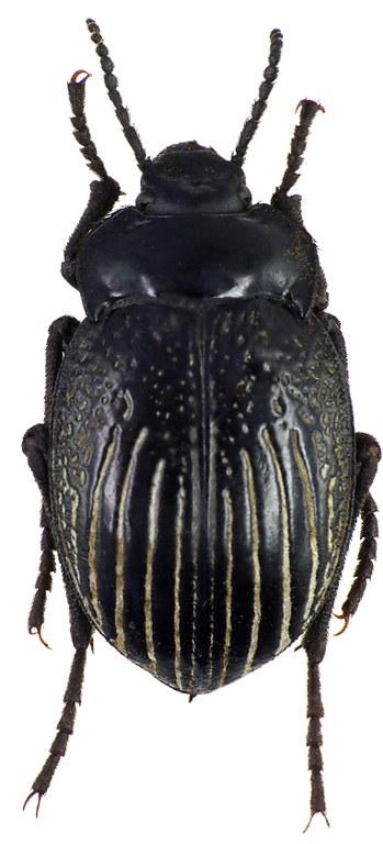 Gyriosomus hopei 76022cz32.jpg