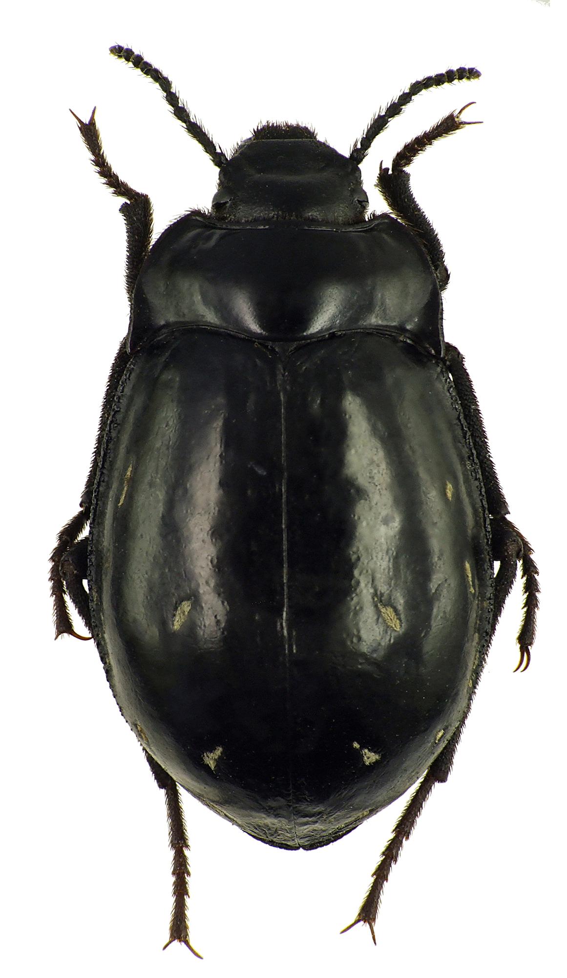 Gyriosomus laevigatus 76051cz61.jpg
